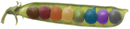 picture of peapod with colorized peas